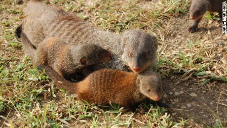Why mongoose moms all give birth at the same time