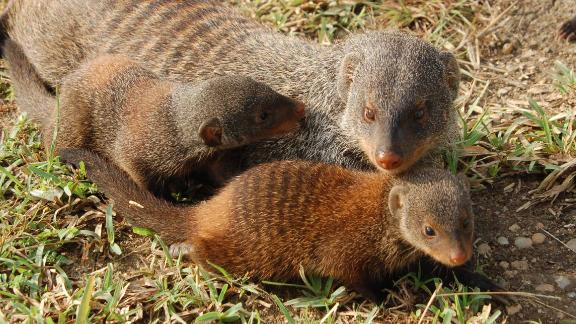 Young banded mongooses with an adult. Once they emerge from the den, they form caring relationships with another adult, called an escort.