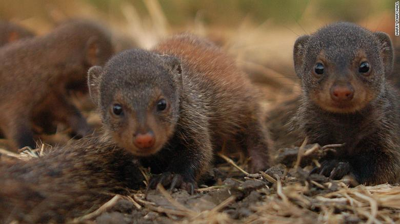 Why female mongooses all give birth at the same time