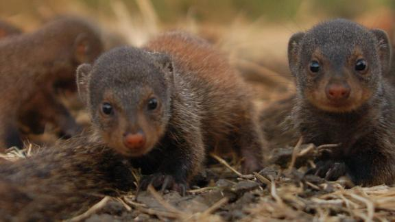 Female mongooses within a group give birth at the same time when they reproduce.