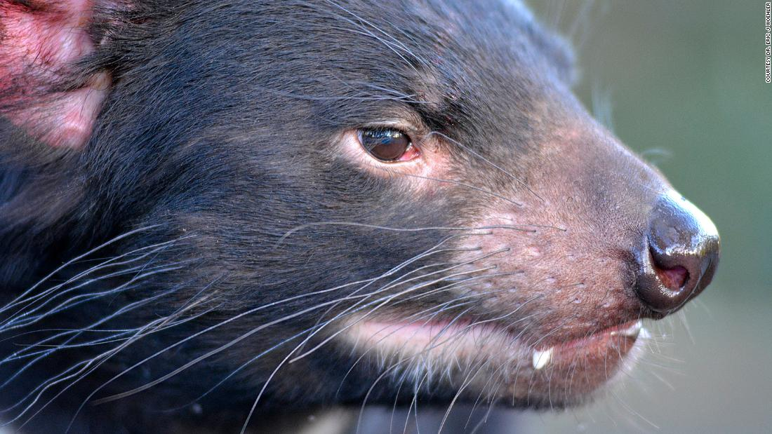 Tasmanian devils were moved to an island for their protection. Now there's no more penguins