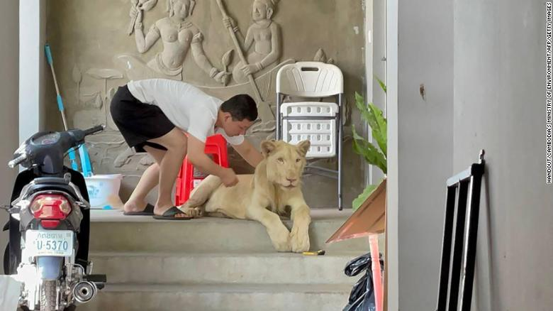 Cambodian authorities seize pet lion after spotting it on TikTok