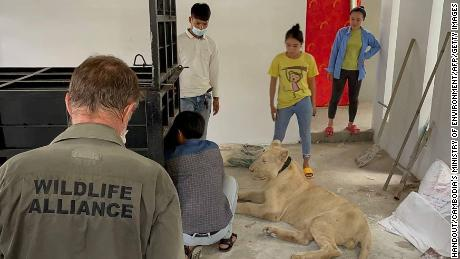 The lion had been taken to a rescue center but has now been reunited with its owner.