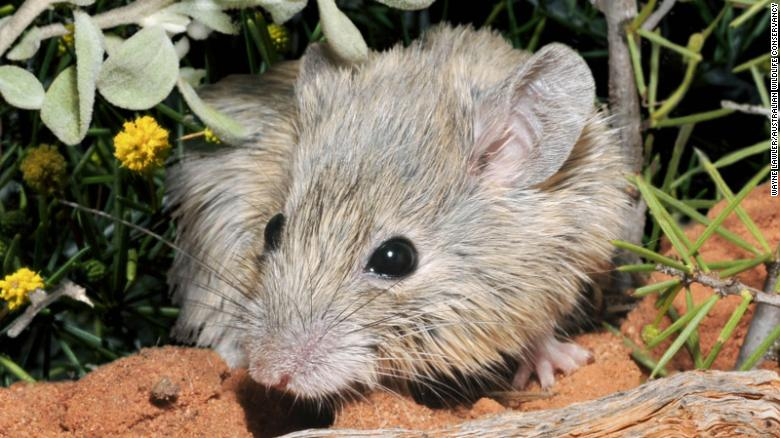 Mouse thought extinct for 150 years found living on island