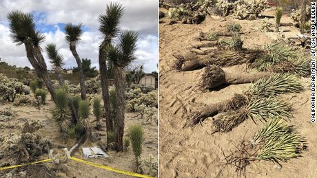 The trees were found buried at the site of a home the couple were building.