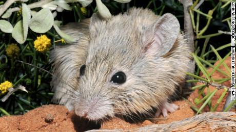 Ces souris n'ont jamais vraiment disparu - elles traînaient juste sur une île.