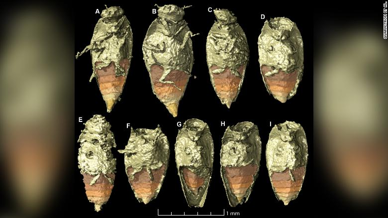 The tiny beetle Triamyxa coprolithica is the first insect to be described from fossil feces, according to a study published Wednesday in the journal Current Biology.