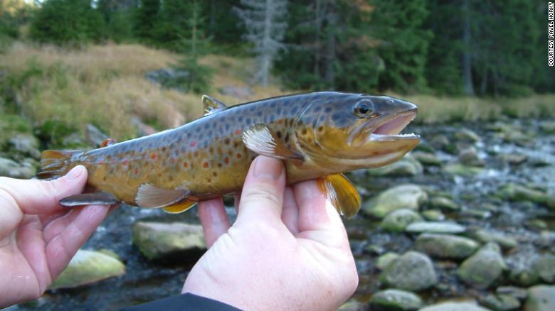 Methamphetamine in waterways may be turning trout into addicts