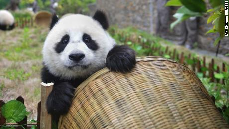 Giant pandas are no longer endangered, thanks to conservation efforts, China says