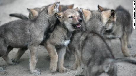 Cachorros-lobo se amontoam no Centro de Ciências da Vida Selvagem em Minnesota.