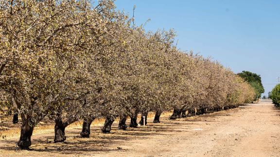 Dying almond trees at an orchard in Gustine, California, on June 14.