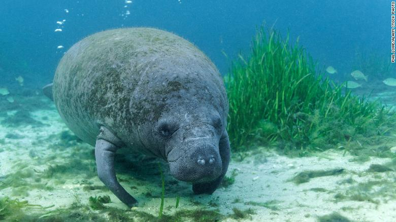 More manatees have died in the first half of 2021 than in any other year in Florida's history, wildlife agency says