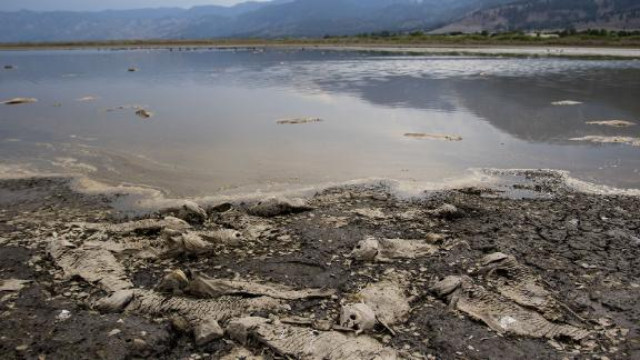 Dead carp fish rot in the remaining water of a drying Little Washoe Lake in Nevada.