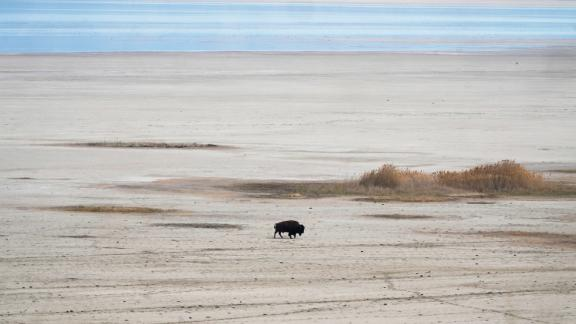 A lone bison walks along the receding edge of the Great Salt Lake on his way to a watering hole on April 30, 2021, at Antelope Island, Utah. The lake's levels are largely expected to hit a 170-year low this year. It comes as the drought has the U.S. West bracing for a brutal wildfire season. (AP Photo/Rick Bowmer)