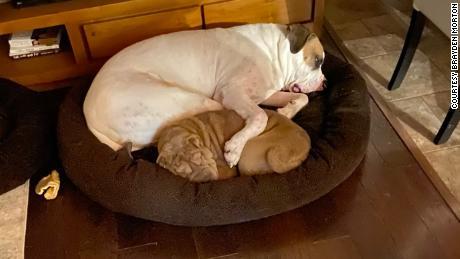 Les deux chiens de Morton, Darla et Louis.