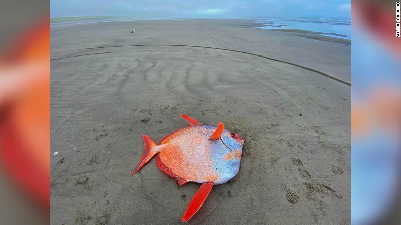 """The fish is """"rare to the Oregon Coast,"""" Seaside Aquarium said."""