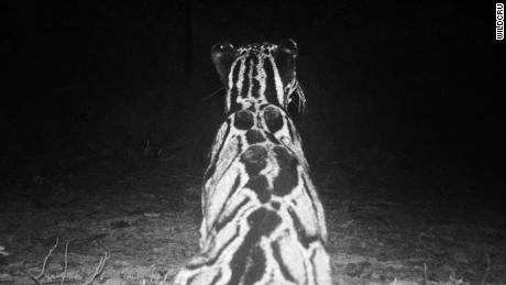 A camera trap image of the rare Clouded Leopard.