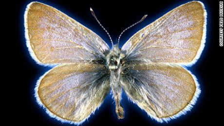 Este espécimen de mariposa azul de Xerces tiene 93 años.