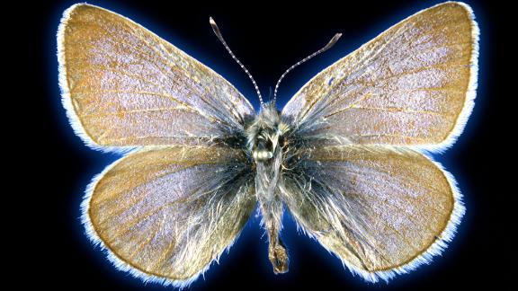 Esta mariposa azul de Xerces tiene 93 años.
