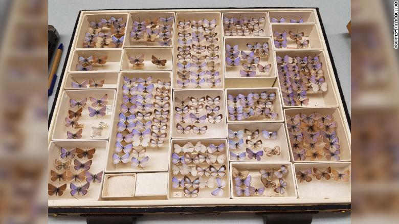 The Field Museum has a collection of extinct Xerces blue butterflies.
