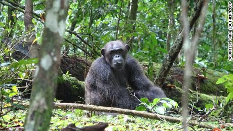 It was first discovered that a chimpanzee was attacking and killing a wild gorilla