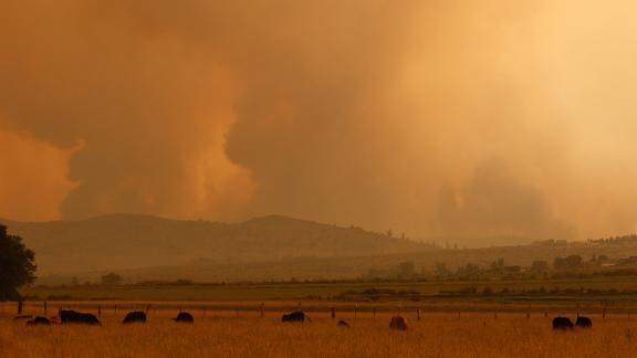 Cattle graze as the Tamarack Fire burns near the California-Nevada border on July 17.