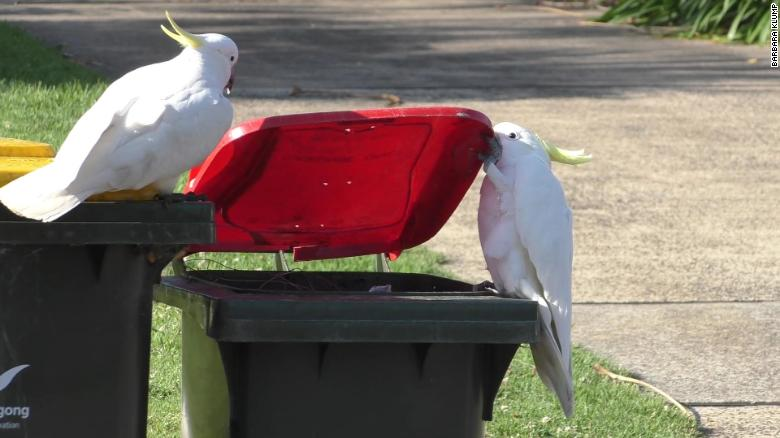 Australia's cockatoos taught each other to open trash cans for food, study finds