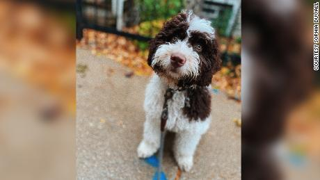 """Nia Morgan left her puppy, Zorro, with a Rover sitter in Chicago in March. For four days, the sitter provided her with false updates, only to then claim Zorro had """"gotten loose."""" Morgan is desperately trying to find him."""