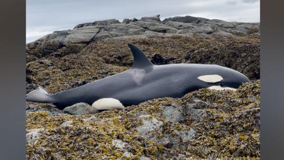 Stranded killer whale freed from rocky coast in Alaska after being stranded for hours