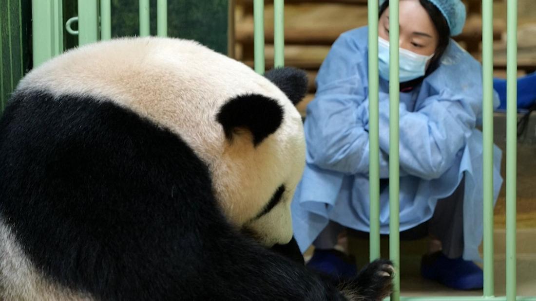Zoo celebrates birth of 2 giant panda cubs