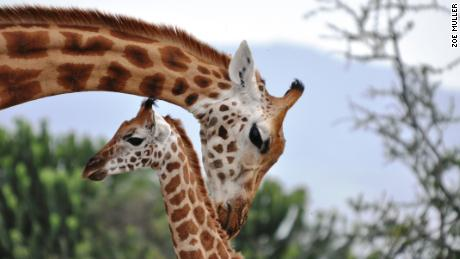 Female giraffes show distress when a calf in the group dies even if it's not their own.
