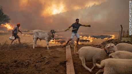 Ένας άντρας κρατάει τα βοοειδή του μακριά από μια πυρκαγιά που προχωρά στις 2 Αυγούστου στη Μούγλα, στην περιοχή Μαρμαρίς, καθώς η Ευρωπαϊκή Ένωση στέλνει βοήθεια στην Τουρκία και εθελοντές ενώνονται με τους πυροσβέστες στις μέρες των βίαιων πυρκαγιών.