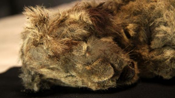 A frozen cave lion cub found in Siberia with whiskers still intact is more than 28,000 years old