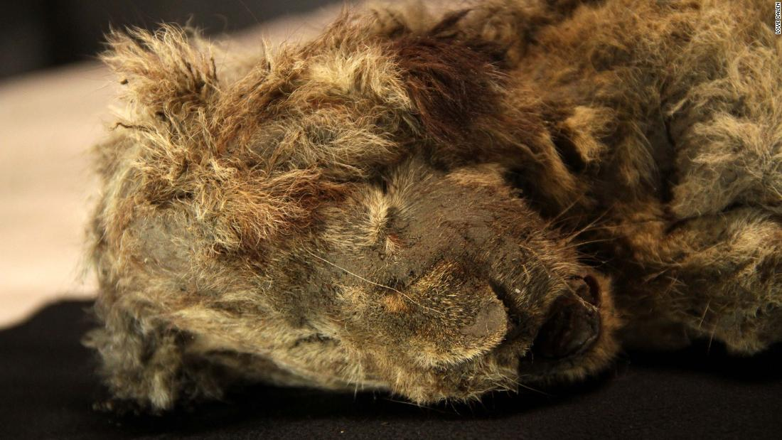 Perfectly preserved cave lion cub found frozen in Siberia is 28,000 years old.