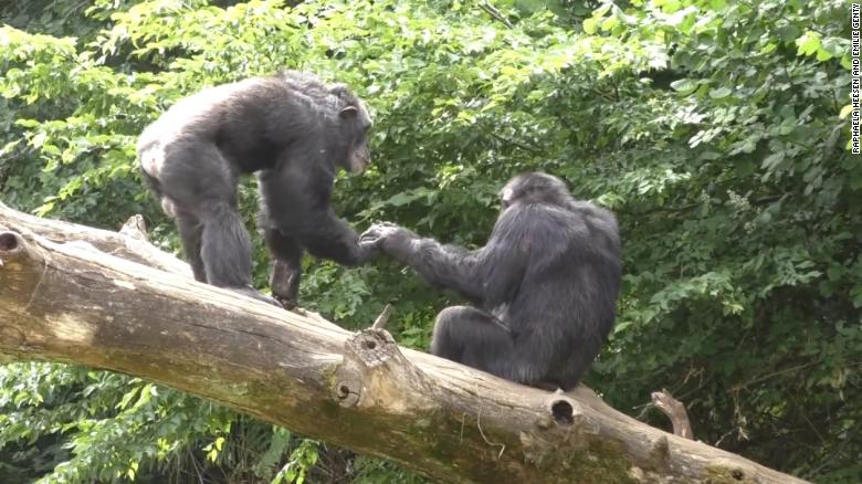 Just like humans, apes communicate to say hello and goodbye, research shows
