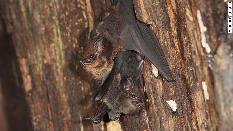 연구에 따르면 아기 박쥐는 아기처럼 지저귐