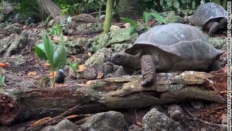 Los investigadores registraron el momento en que la tortuga gigante de las Seychelles, Aldabrachelys gigantea, atacó y se comió el pollo.