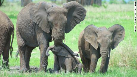Elephants use suction to pick up lightweight objects, but they use suction to pick up heavier objects.