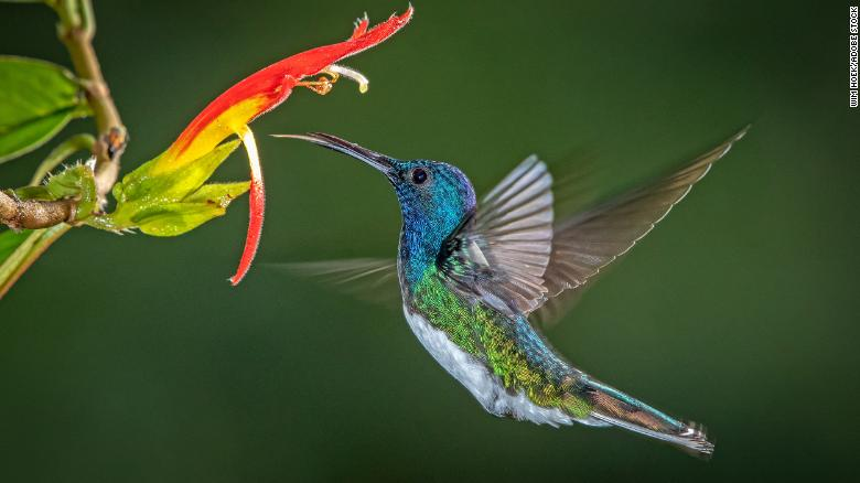 Some female hummingbirds that look like males face less social harassment, study finds