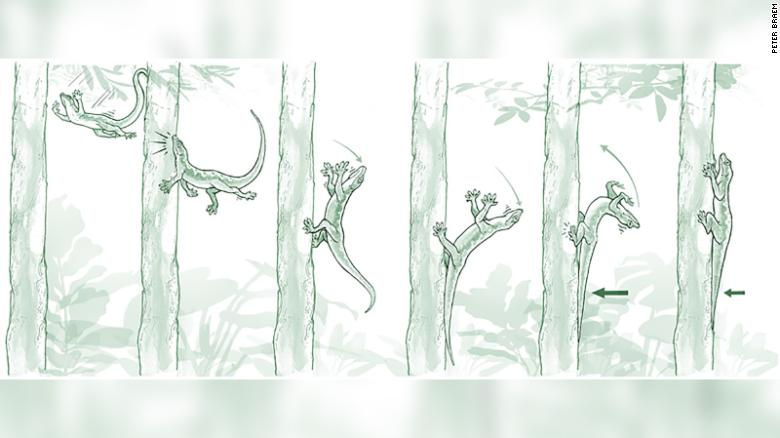 The gecko's most astounding maneuver has nothing to do with its sticky feet