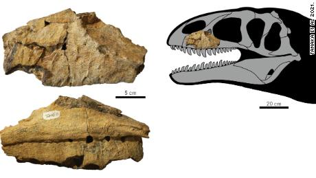 The fossil was discovered in the 1980s but only with fresh analysis did paleontologists conclude it was a previously unknown species of dinosaur.