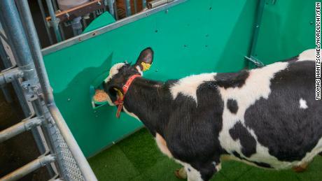 A calf consumes sugar water as a reward during toilet training.