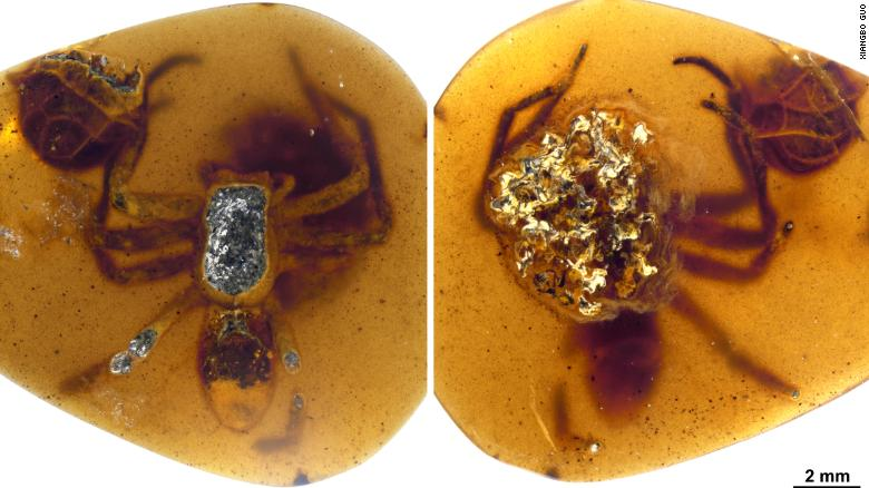 Ancient spider caring for her offspring is trapped in 99 million-year-old amber