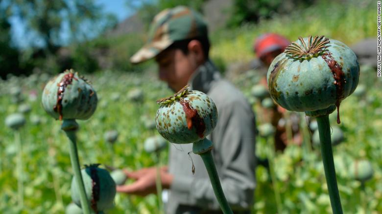 Afghanistan is the world's opium king. Can the Taliban afford to kill off their 'un-Islamic' cash cow?