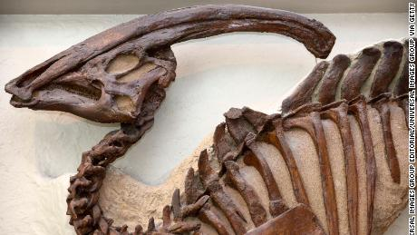 The tubular crest of Parasaurolophus is on display at the Royal Ontario Museum in Toronto.