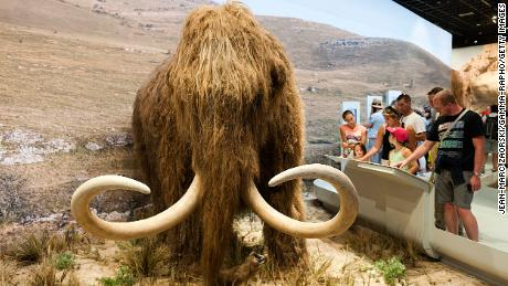 Una nuova società di bioscienze e genetica, Colossal, ha raccolto 15 milioni di dollari per riportare il mammut lanoso dall'estinzione.  Questo tipico mammut è in mostra in Francia.