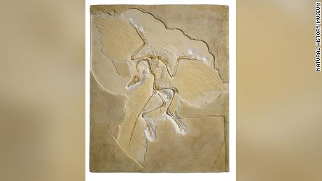 While Archaeopteryx is considered to be the oldest bird, it doesn't have a sternum, a bone in humans that's located in the middle of the chest -- something that perplexes scientists.