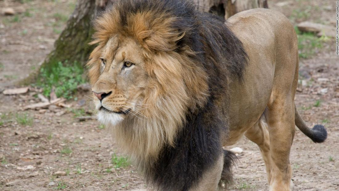 Lions and tigers at DC's National Zoo test presumptive positive for Covid-19
