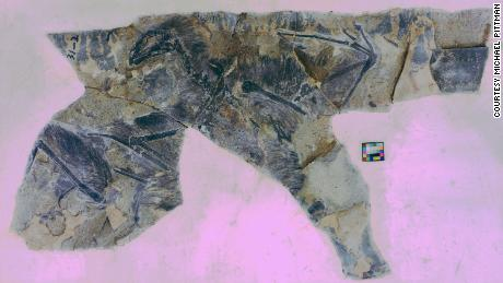 This fossil shows Yi qi, a glider that did not survive the extinction of the dinosaurs.