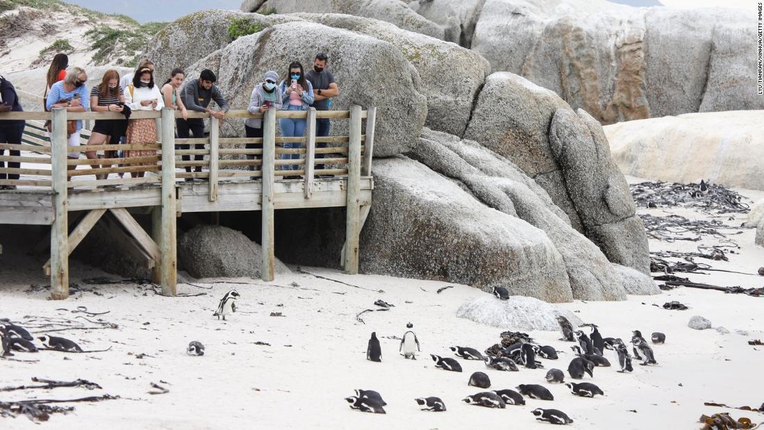 Bee swarm kills 63 endangered penguins in South Africa